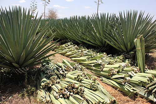 Sisal Cultivation